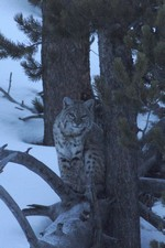 Bobcat along the Firehole
