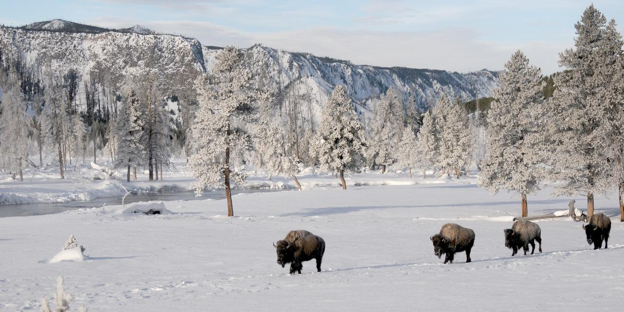 Bison in Yellowstone - Winter